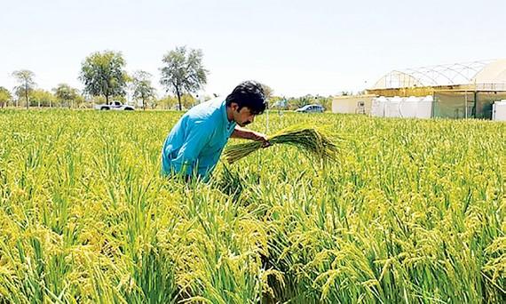 Hàn Quốc trồng lúa thành công ở vùng sa mạc