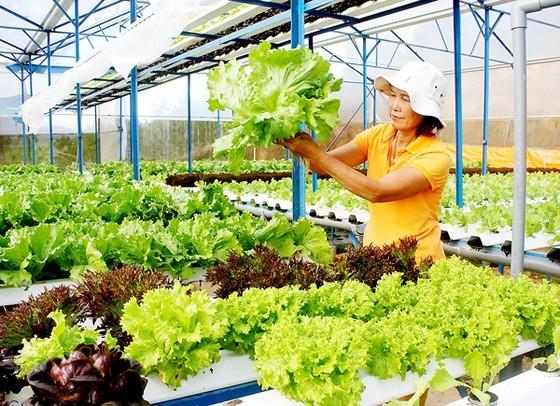 Trang trại trồng rau ở Đà Lạt giới thiệu sản phẩm rau xà lách thủy canh