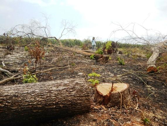 Hàng loạt cây rừng thuộc tiểu khu 302A, Khu BTTN Tà Cú  bị các đối tượng đầu độc và triệt hạ