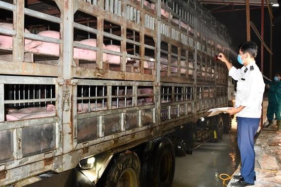 Kiểm dịch heo giống nhập khẩu từ nước ngoài vào Việt Nam, cách ly tại cửa khẩu Cầu Treo - Hà Tĩnh. Ảnh Văn phòng Bộ NN-PTNT cung cấp