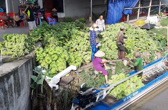 Thương lái thu mua chuối ở ĐBSCL