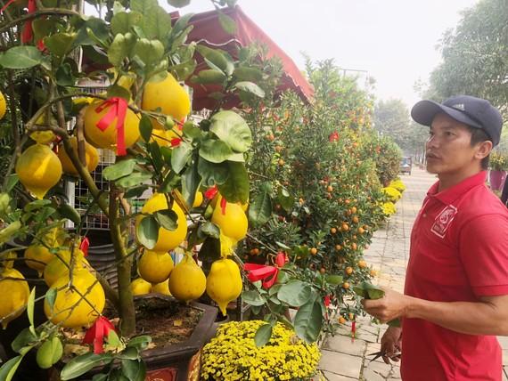 Nhân viên vườn kiểng Minh Tân (đường Mai Chí Thọ, quận 2, TPHCM) đang cắt tỉa cây bưởi Diễn. Ảnh: THANH HẢI