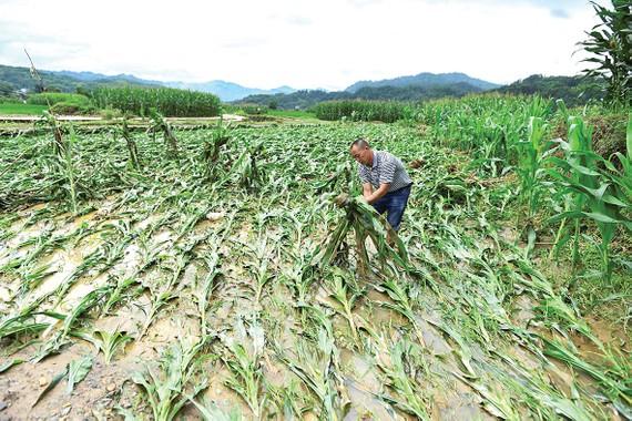 Một nông dân kiểm tra cánh đồng bắp bị thiệt hại do lũ lụt  ở tỉnh Quý Châu, Trung Quốc. Ảnh: REUTERS