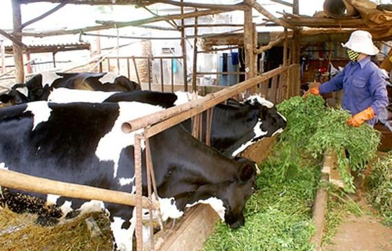 ĐBSCL: Người nuôi bò sữa lao đao  vì không bán được sữa