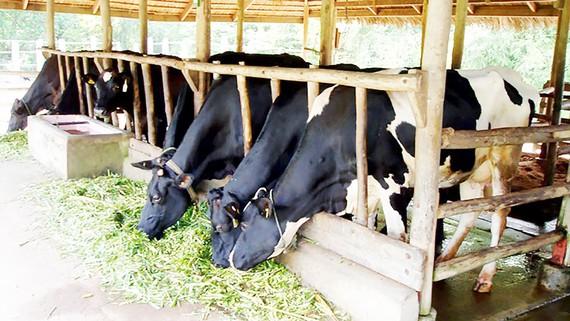 Sóc Trăng phát triển đàn bò sữa