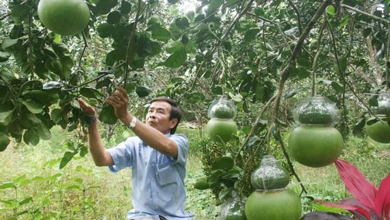 """Bưởi hồ lô - hàng """"độc"""" của nông dân Hậu Giang sản xuất cung ứng dịp tết"""