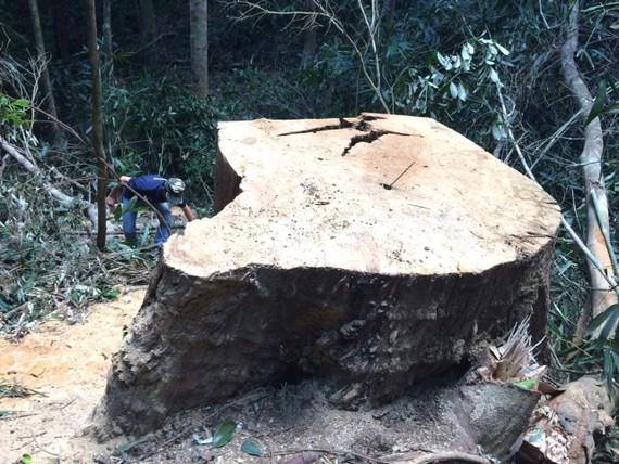Một vụ phá rừng tại huyện Chư Pah