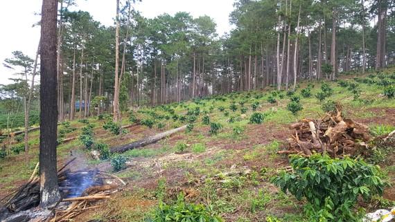 Rừng cộng đồng thôn 4, xã Lộc Phú, huyện Bảo Lâm, tỉnh Lâm Đồng (vừa bị thu hồi) bị người dân lấn chiếm trồng cà phê