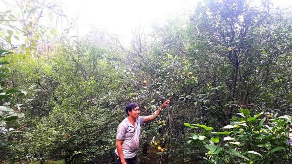 Vườn quýt của ông Võ Văn Minh gần như mất trắng