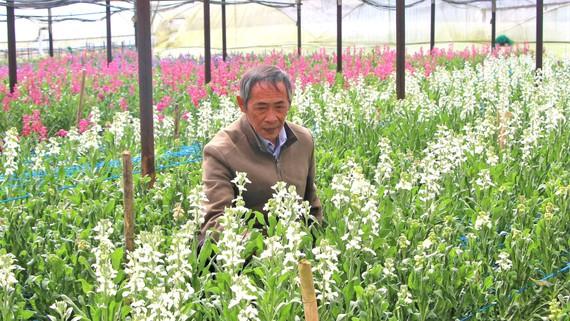 Nhà vườn Đà Lạt chăm sóc hoa phục vụ thị trường Tết Nguyên đán