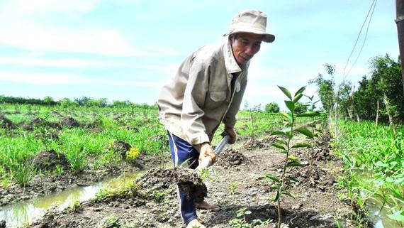 Nông dân ĐBSCL trồng mới cây ăn trái