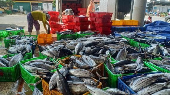 Ngư dân Khánh Hòa trúng đậm cá ngừ sọc dưa