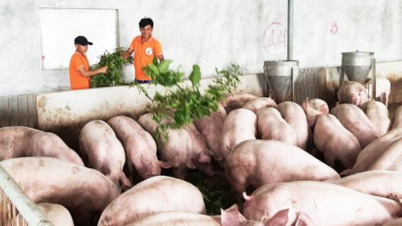Các công nhân đang cho heo ăn cây dược liệu