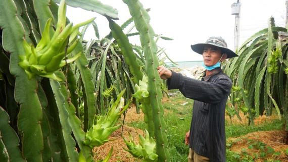 Vườn thanh long ở tỉnh Bình Thuận đã sẵn sàng  phục vụ cho dịp Tết Nguyên đán sắp tới