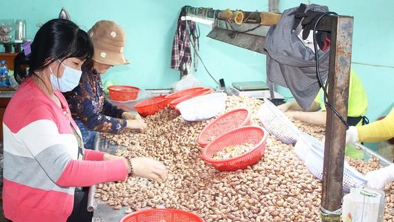Sơ chế điều xuất khẩu tại Công ty TNHH Hoàng Linh Linh, huyện Cẩm Mỹ, tỉnh Đồng Nai