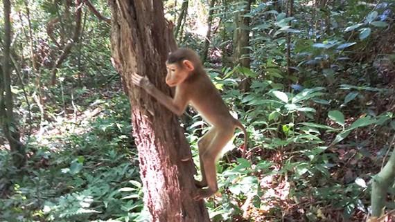 Cá thể khỉ được thả về rừng. Ảnh: PN-KB
