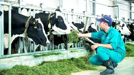 Công nhân chăm sóc bò sữa tại trại bò Vinamilk Tây Ninh