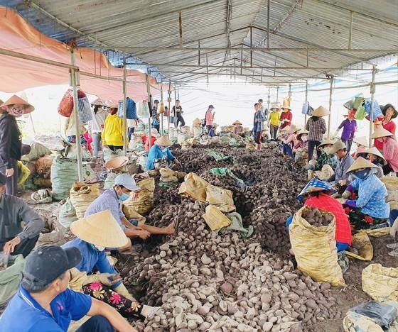 Khoai lang xuất khẩu ở Vĩnh Long còn tồn đọng khá lớn và khó tiêu thụ. Ảnh: TÍN HUY