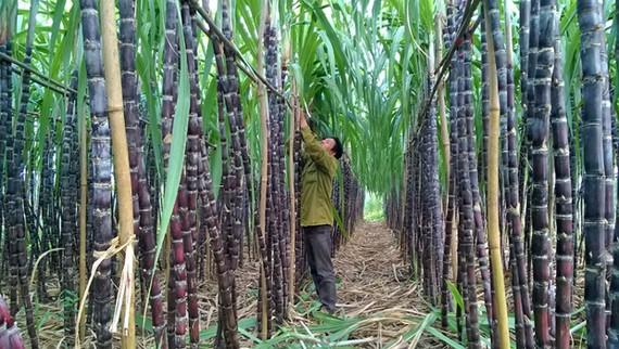 Việt Nam chính thức áp thuế chống bán phá giá 47,64% đối với một số sản phẩm đường từ Thái Lan với thời hạn 5 năm. Ảnh: NĐT