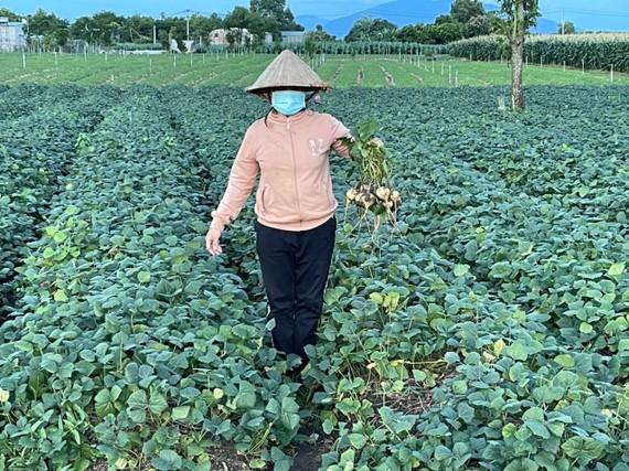 Ruộng củ đậu của người dân xã Xuân Đông đã đến kỳ thu hoạch nhưng không ai mua. ẢNH: LÊ BÌNH