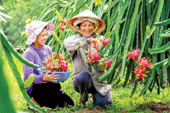 The most concern of Vietnamese fruit export is the substandard post-harvest processing. Photo: LONG THANH