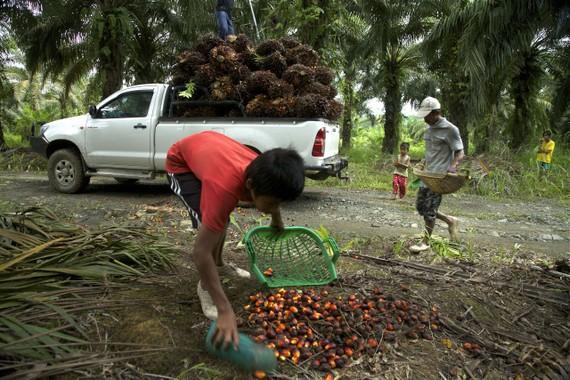 Những đứa trẻ không quốc tịch trong ngành công nghiệp dầu cọ của Borneo.  Ảnh: Pulitzer Center