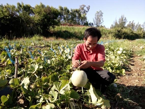 Nông dân xã Bình Phú thu hoạch dưa lưới. Ảnh:Nguyễn Trang