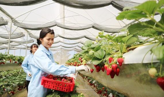 Vườn dâu tây thủy canh trồng theo công nghệ của Israel ở Đà Lạt. Ảnh: ĐOÀN KIÊN
