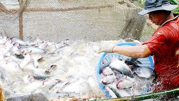 Nông dân ĐBSCL thu hoạch cá tra