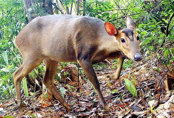 Một cá thể Mang lớn trên dãy Trường Sơn (Quảng Nam) được bẫy ảnh của WWF ghi lại. Ảnh: LEINIZ - IZW, WWF - Việt Nam