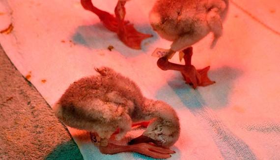 Giải cứu hàng ngàn chim hồng hạc