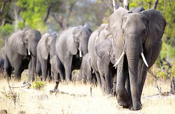 4 nước châu Phi muốn dỡ bỏ lệnh cấm buôn bán ngà voi