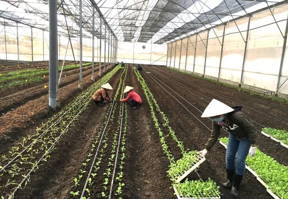 Nhà trồng rau hữu cơ của HTX Nhất Thống, huyện Nhà Bè. Ảnh: ĐƯỜNG LOAN