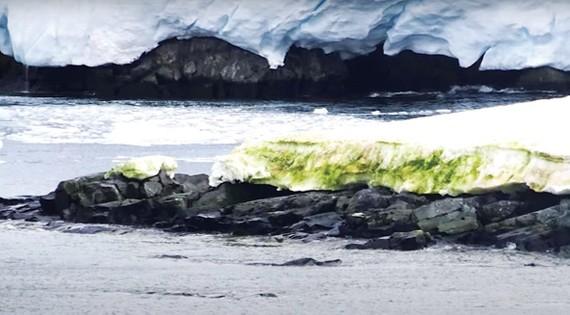 Tảo xanh xuất hiện nhiều ở Nam cực do nhiệt độ trái đất tăng
