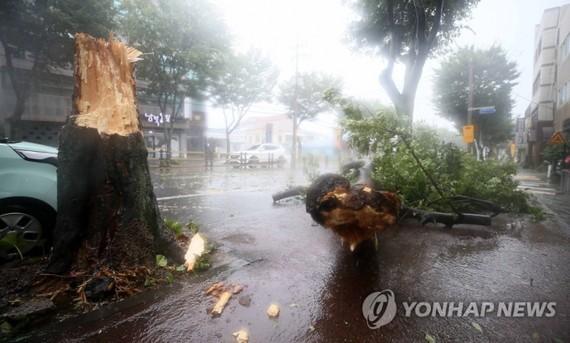Gió lớn quật đổ cây cối trên đảo Jeju, Hàn Quốc. Ảnh: Yonhap