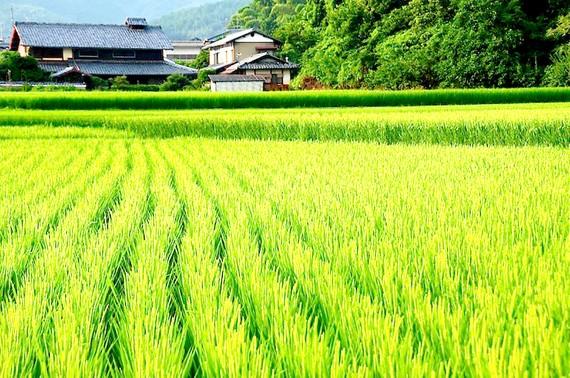 Cánh đồng lúa tại Nhật Bản