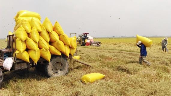 Long An có ưu thế trong cung cấp gạo chất lượng cao cho TPHCM, các tỉnh thành trong nước và xuất khẩu