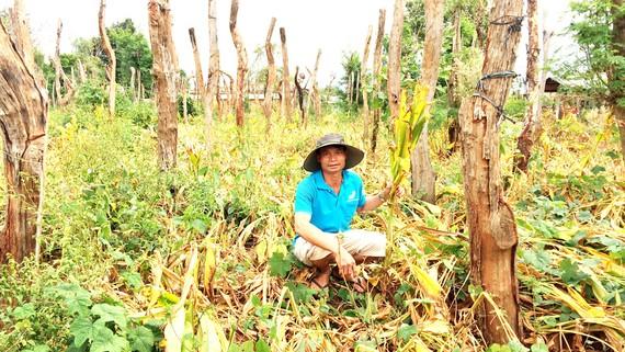 Vườn nghệ của ông Đào Đình Quang đã tàn lụi nhưng không có ai mua