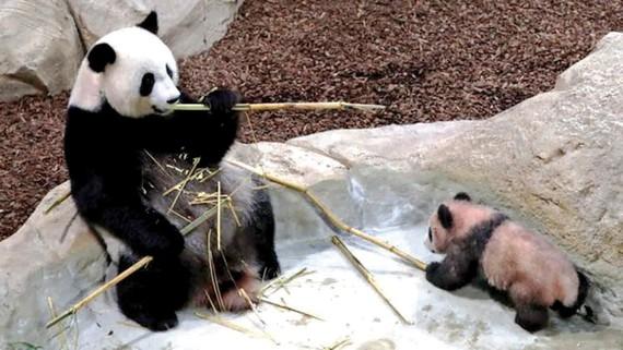 Yuan Meng cùng mẹ tại vườn thú Beauval