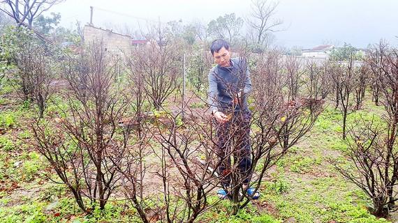Người dân trồng mai vàng năm cánh ở xã Kỳ Nam (Kỳ Anh, Hà Tĩnh) đang thấp thỏm lo lắng bị thất thu do thời tiết