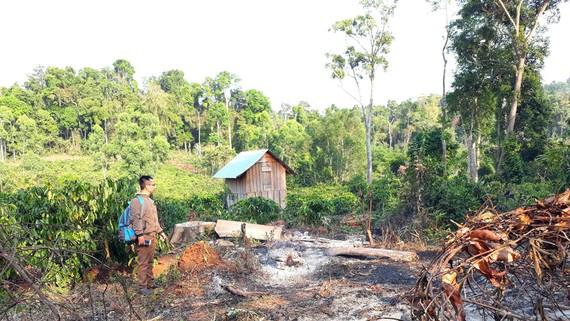 Cà phê mọc ngay giữa rừng ở huyện Kbang, tỉnh Gia Lai