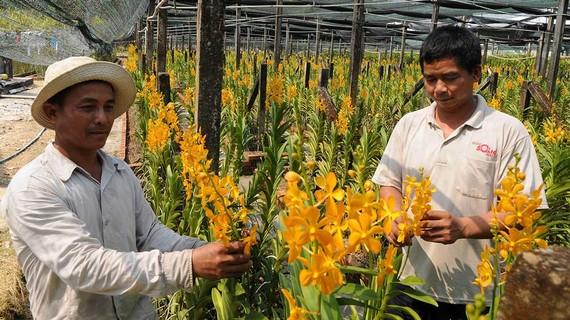 Thu hoạch hoa lan cung ứng Tết tại huyện Củ Chi, TPHCM. Ảnh: CAO THĂNG