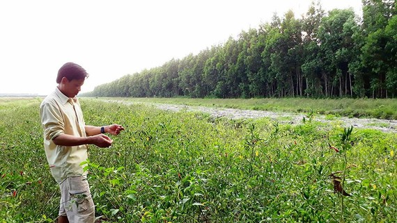 Công ty Sông Tiền lại trồng ớt trên đất được giao trồng rừng