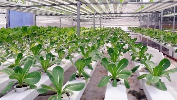 Mô hình trồng rau thủy canh của anh Bình