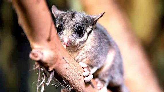 Một trong những loài thú có túi đang bị đe dọa tuyệt chủng ở Australia