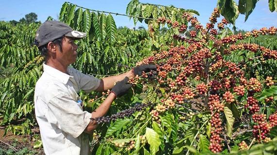 Vườn cà phê tái canh tại Lâm Đồng cho năng suất cao vượt trội