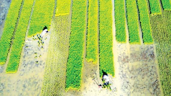 Một ruộng lúa công nghệ cao ở tỉnh Giang Tô, Trung Quốc