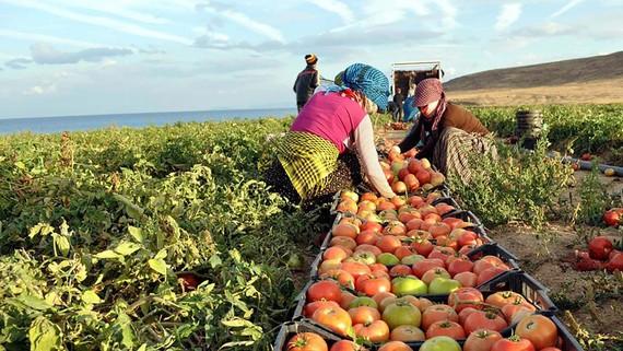 Dịch Covid-19 khiến nhiều nước đối mặt nguy cơ thiếu lương thực