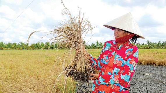 Hạn mặn gay gắt làm lúa ở ĐBSCL chết khô. Ảnh: HUỲNH LỢI
