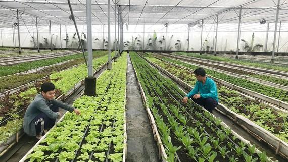 Trang trại Nhất Thống sản xuất rau hữu cơ gắn liền với ứng dụng công nghệ cao
